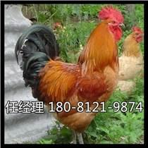 岳池縣雞苗多少錢一只蛋雞