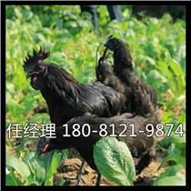 峨眉山市雞苗多少錢一只肌胃