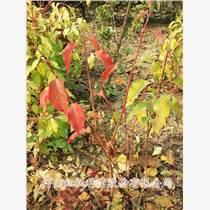 彩叶丝棉木批发丝棉木价格-河南郑州市丝棉木生产基地