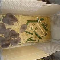 供应厂家直销竹鼠3代以上优质种苗包运送存活