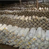 山东灵芝产地供应灵芝菌种 现货销售灵芝菌棒 大量批发