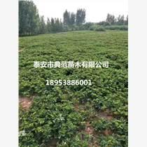 奶油草莓苗價格奶油草莓苗多少錢一棵