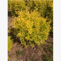 金叶白蜡|强盛苗圃|金叶白蜡价格