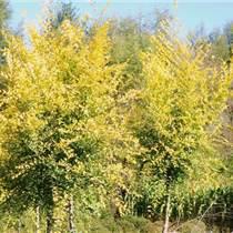 強盛苗圃河北金葉榆,基地批發價格