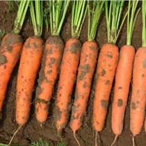 日本進口胡蘿卜種子愛木100原種