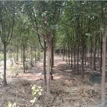 郑州苗圃现低价处理苗木:海棠,金叶复叶槭,国槐,桑树