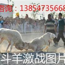 山东济宁斗羊争霸赛 ,斗羊图片