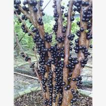 供應廣西嘉寶果苗繁育中心 玉林樹葡萄苗圃
