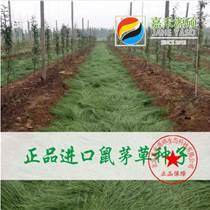 果園綠肥鼠茅草丨以草治草丨什么時間播種丨嘉禾源碩