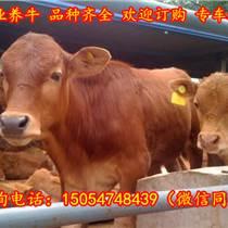 浙江丽水小黄牛价格