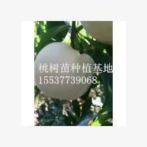 桃树苗批发 河南桃树苗价格 南阳桃树苗基地