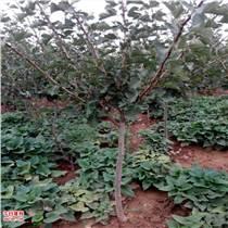 占地1-10公分梨樹杏樹蘋果樹