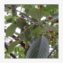 大量供應青島櫻花種子