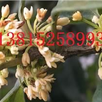 蘇州精品桂花樹苗圃基地、蘇州桂花樹、大型精品桂花樹、