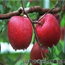 出售1年2年3年4年5年6年生苹果树寒富苹果树