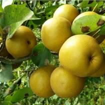 出售2公分梨樹3公分梨樹4公分梨樹5公分梨樹