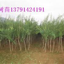 15公分石榴树苗