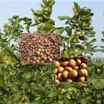 出售達維大榛子苗出售平歐大榛子苗出售防凍大榛子苗