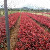 安徽合肥紅葉石楠球,高桿紅葉石楠價格,肥西紅葉石楠小