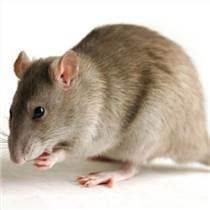 灭鼠服务 徐汇灭鼠服务的方法