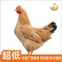 桂豐禽也 雞苗、鴨苗、鵝苗批發