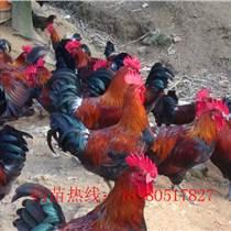 贵州遵义柴鸡苗养殖