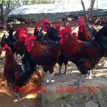 贵州六盘水肉鸡苗基地