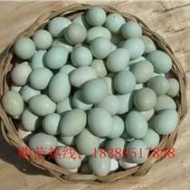 青海海南綠殼蛋雞苗疫苗