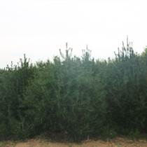 山東優質白皮松基地供應1.5,2.5米白皮松