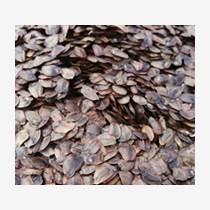 广西杉木种子批发供应价格速生杉木种子种植技术图片