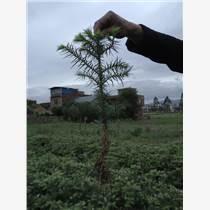 廣西杉木苗批發價格速生杉木苗種植技術杉木苗圖片