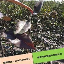 早酥红梨苗产地直销 无病虫害成活率高红梨苗
