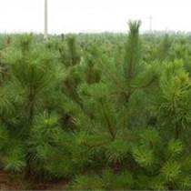 最新1米油松價格1米油松占地樹1米油松一級樹