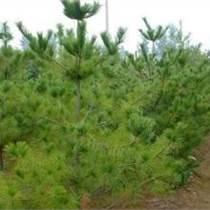 最新1米5华山松价格1.5米华山松占地树1.5米华山