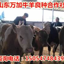 云南省昆明西门塔尔牛犊价格