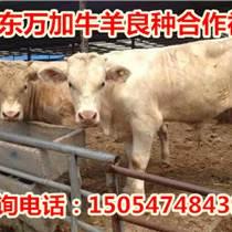 云南省曲靖西門塔爾小牛價格