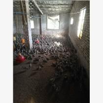 山雞養殖技術教程  山雞批發