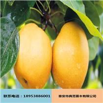 黄金梨苗批发供应 果树苗基地自产自销 优质纯种黄金梨