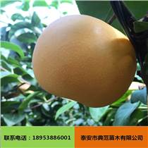 秋月梨树苗批发 基地培育果树苗直销 价格优惠秋月梨树