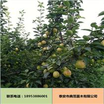 新梨7号梨树苗批发 新品种优质低价新梨7号梨树苗