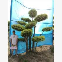 造型金葉榆/室內景觀樹/大型風景樹/園林綠化樹