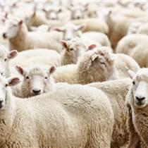 怎样育肥羊长得快 优农康微生态育肥羊有妙招