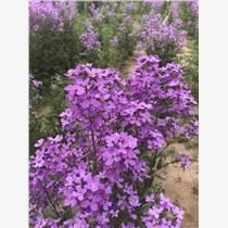 花泽牌国产蓝香芥种子