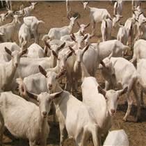 肉羊的育肥技术   要学会用微生态的饲料添加剂