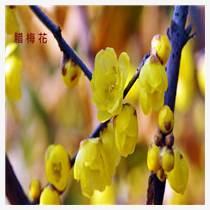 耐寒花卉蠟梅花盆栽價格行情