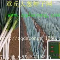 铁杆大葱种子日本大葱种第一高产新品种 井冈一本 井冈
