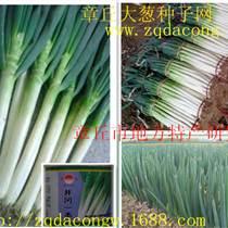 日本钢葱种子 井冈一本 井冈晚抽 日本铁杆大葱种子