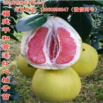 四川紅肉蜜柚苗價格,四川紅心柚子苗批發