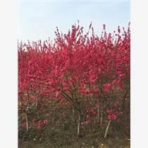 【紅葉碧桃】江蘇哪家的13公分紅葉碧桃價格便宜