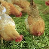怎么选择土鸡饲料添加剂:优农康告诉你